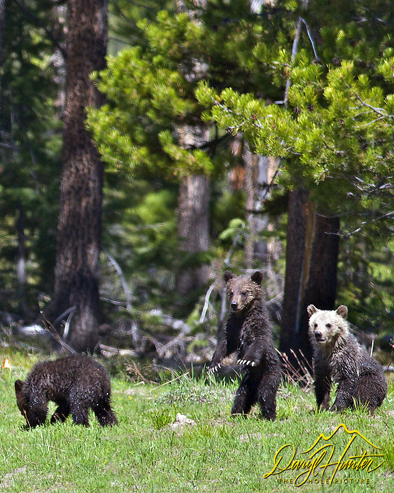 Three Grizzly Bear Cubs, Grand Teton National Park