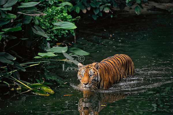 Sumatran Tiger (Panthera tigris sumatrae) in tropical rainforest stream.