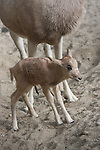 Addax newborn with mom