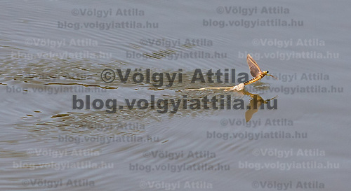Yearly few days long swarming of the long-tailed mayfliy (Palingenia longicauda) on the river Tisza in Tiszainoka (some 135 km south-east from Budapest), Hungary on June 13, 2011. ATTILA VOLGYI.The long-tailed mayfly larves live 3 years under water level in the river banks then swarm out for a one day period of their life to die after mating.