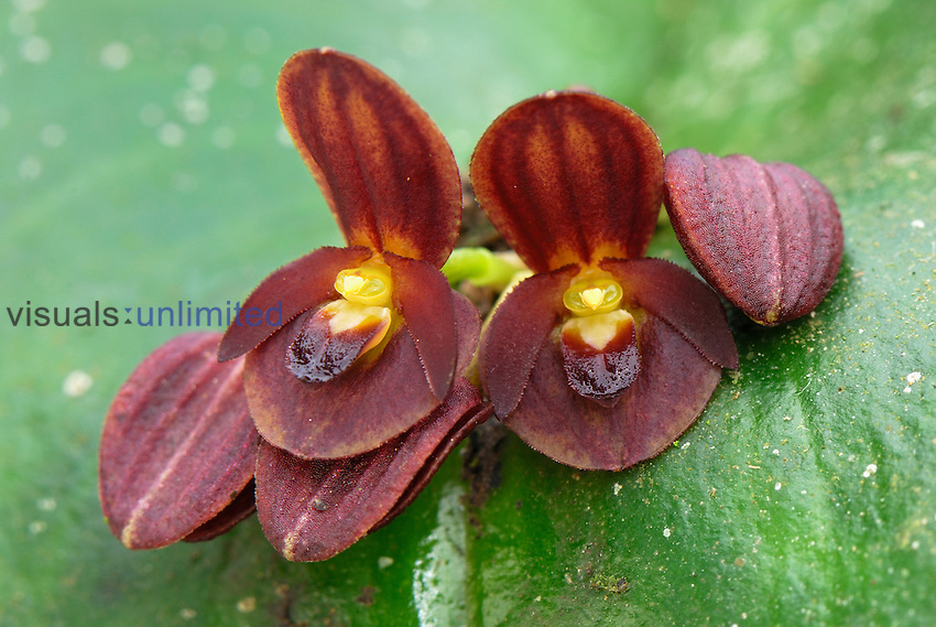 Orchid (Pleurothallis), Department of Putumayo, Colombia.