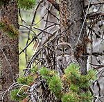 A Great Gray Owl sits in the Yellowstone forest.