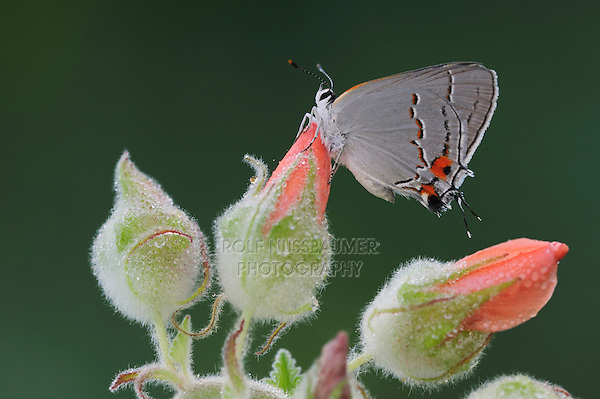 Gray Hairstreak (Strymon melinus), adult on dew covered flower, Fennessey Ranch, Refugio, Coastal Bend, Texas, USA