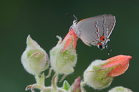 Gray Hairstreak (Strymon melinus), adult on dew covered flower, Fennessey Ranch, Refugio, Coastal Bend, Texas, USA