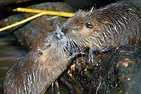 Beverrat (Myocastor coypus) met jong