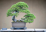 "Photo shows ""Higurashi"", a Japanese five-needled pine which has been valued at about the same price as a luxury Tokyo apartment, on display at the Saitama Omiya Bonsai Museum of Art in Saitama, Japan on 15 Aug. 2011..Photographer: Robert Gilhooly"