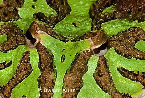 FR24-523p  Ornate Horned Frog, Ceratophrys ornata, Brazil