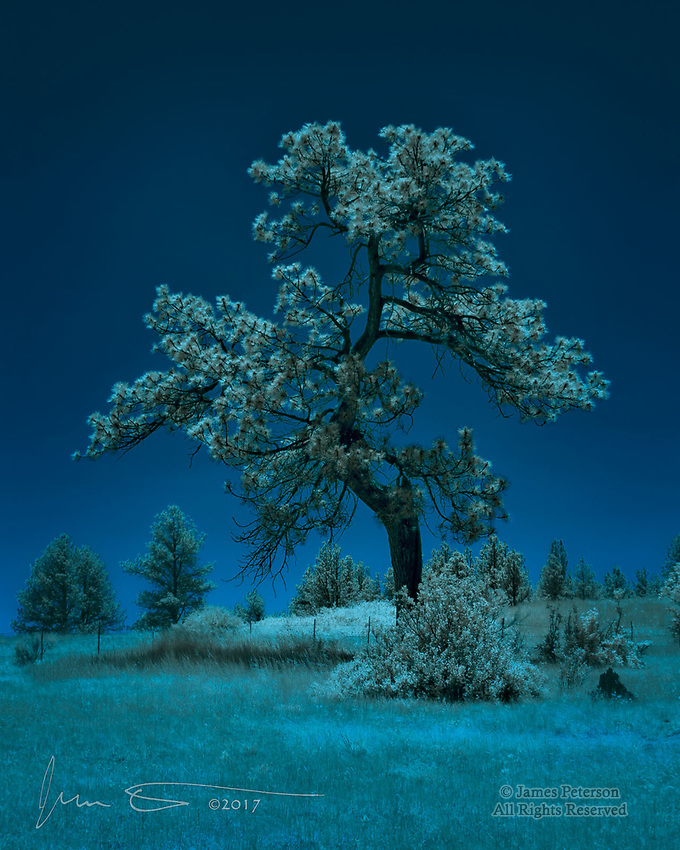 Moon Tree (Infrared) ©2017 James D Peterson.  There was something about this tree, on a hillside near Chama, New Mexico, that really spoke to me.  Ponderosa pines are normally tall and straight, but this one, buffeted by harsh winters plus, probably, a few lightning strikes, has taken a much different form reflecting its indomitable will to thrive in the face of adversity.  Its grace and strength are unmistakable.