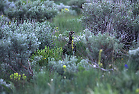 A  sage grouse anxiously tries to draw researchers away fom her nest of hatchlings in sage brush covered plains.  The radio collar allows the scientists the track the bird to her nest.  They place transmitters on her chicks in hopes of uncovering clues to the perilous plight of a species once common throughout the Great Basin's public lands. Research shows 75% of the chicks die before 2 weeks of age.....At one time there were an estimated two million birds.  But now there is a breeding population of 15,000 to 30,000 birds--only 5-10,000 in the Upper Snake River.....Momentum is building to list the sage grouse under the federal Endangered Species Act, but many predict the effort will result in an environmental battle to match the spotted owl/logging debate. The most serious threats to sage grouse habitat are range fires, farming and livestock grazing.