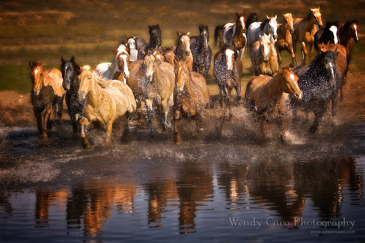 Herd of horses galloping into a pond, with reflection