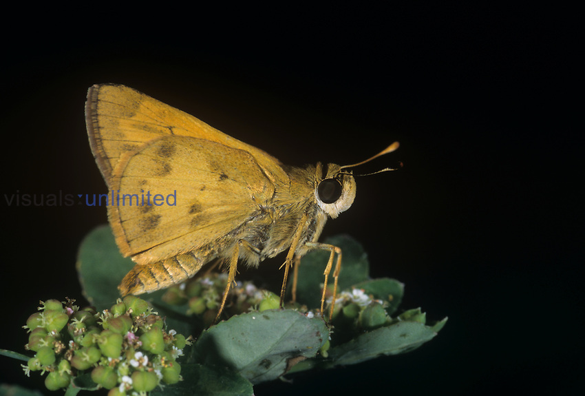 Male Whirlabout Skipper Butterfly (Polites vibex), Family Hesperiidae, Santa Ana National Wildlife Refuge, Texas, USA.