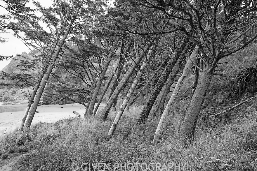 Tilting trees on Oregon Coast