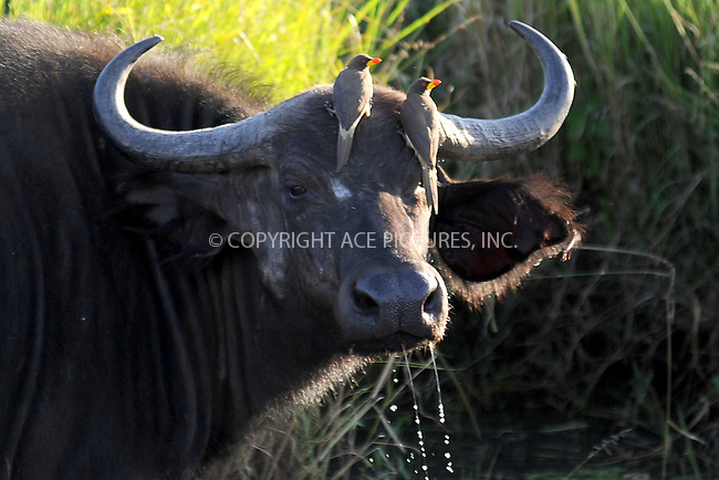 WWW.ACEPIXS.COM<br /> March 5, 2016 New York City<br /> <br /> African buffalo or Cape buffalo with Oxpeckers in Maasai Mara National Reserve on March 5, 2016 in Kenya.<br /> <br /> Credit: Kristin Callahan<br /> web: http://www.acepixs.com