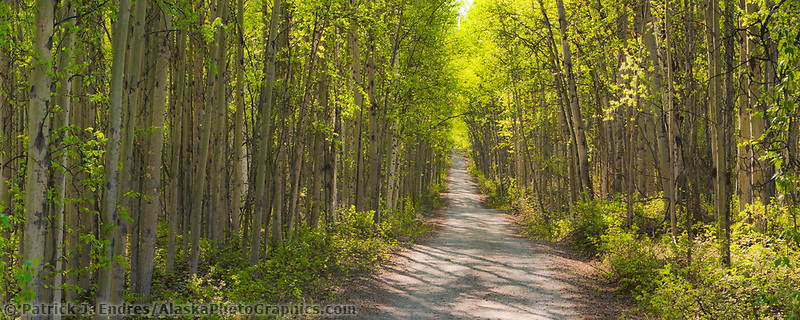 Alaska Paper Birch trees line long roadway into the boreal forest, Fairbanks, Alaska.