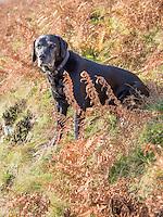Black Labrador sitting with ferns, Dunsop Bridge, Lancashire.