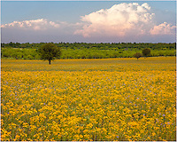 Just south of Mason in the Texas Hill Country, I was searching for photo opportunities of Texas wildflowers. As the thunderheads were building, I took this shot of the impending storms over a field of gold.