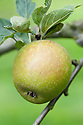 Apple 'Hubbard's Pearmain', mid September. An English dessert apple that originated in Norfolk sometime in the late 18th century.