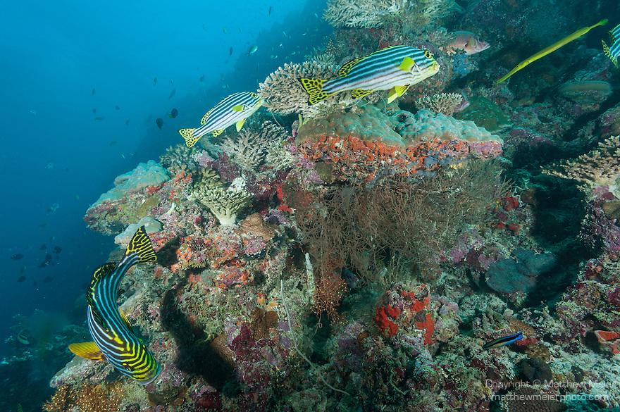 Mulak Kandu, Mulaku Atoll, Maldives; several Oriental Sweetlips (Plectorhinchus vittatus) and a golden variation Trumpetfish swimming over the coral reef