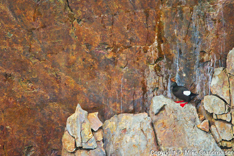 Pigeon guillemot (Cepphus columba) on rock ledge. Atlantic Ocean, Elliston, Newfoundland, Canada