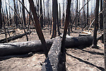 WY: Wyoming, Yellowstone National Park..Firescape, recovery from 2003 East Fire.Photo #: yellow826..Photo copyright Lee Foster, 510/549-2202, lee@fostertravel.com, www.fostertravel.com..