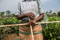 India – West Bengal: A tea plucker's hands at Mogulkata Tea Estate, in the Dooars region. Every plucker is given two cross-shaped wooden sticks to measure the height of the tea bushes. Only the leaves higher than the horizontal stick can be plucked.