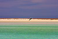 America,Mexico,Baja California,Complejo insular Espiritu Santo,flying pelikan,Complejo insular Espiritu Santo