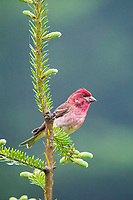 purple finch, Carpodacus purpureus, male, perched on evergreen spruce branch, Nova Scotia, Canada