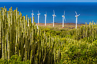 Canary Island spurge, or Hercules club, Euphorbia canariensis, endemic to Canary Islands, wind turbines, Punta de Teno, Buenavista del Norte, Tenerife, Canary Islands, Spain, Atlantic Ocean