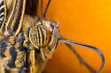 Close-up of Owl Butterfly (Caligo memnon) head showing compound eyes and proboscis. Captive, originating from Central America. website