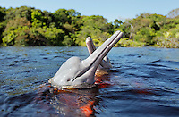 RB51056-D. Amazon River Dolphins (Inia geoffrensis) spyhopping, also called Boto or Pink River Dolphin. Rio Negro, Brazil, South America.<br /> Photo Copyright &copy; Brandon Cole. All rights reserved worldwide.  www.brandoncole.com