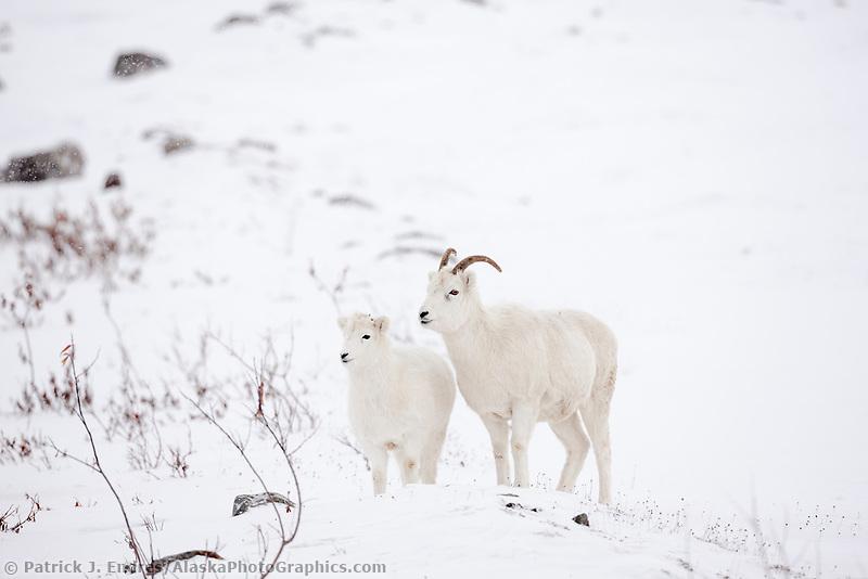 Dall sheep ewe and lamb on the snow covered tundra of the Brooks Range, Arctic Alaska.
