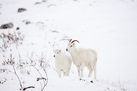 Dall sheep ewe and lamb on the snow covered tundra of the Brooks Range, Arctic Alaska.