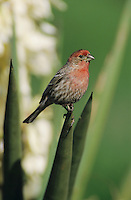 House Finch, Carpodacus mexicanus, male on blooming Trecul Yucca (Yucca treculeana), Lake Corpus Christi, Texas, USA, March 2003