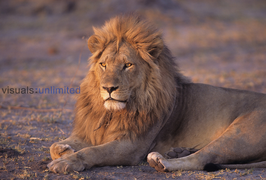 African Lion, male hunting at dawn. ,Panthera leo, Botswana, Africa