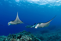 reef manta rays in a possible courtship ritual ( female in front followed by four males ), Manta alfredi, Big Island of Hawaii ( Central Pacific Ocean ) (dm)