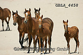 Bob, ANIMALS, REALISTISCHE TIERE, ANIMALES REALISTICOS, horses, photos+++++,GBLA4458,#a#, EVERYDAY