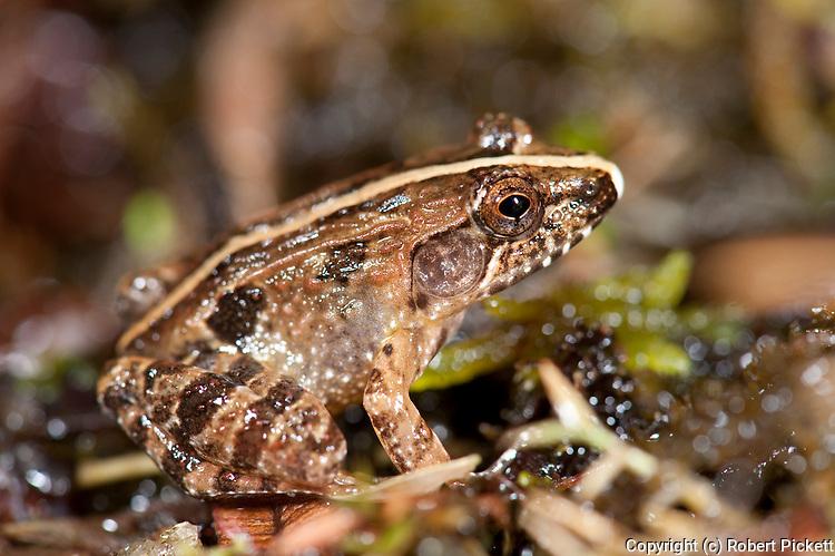 Mascarene Grass Grog or Mascarene Ridged Frog, Ptychadena mascareniensis, on rainforest floor, Ranomafana National Park, Madagascar, Least Concern on the IUCN Red List