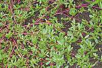 Portulak, Gemüse-Portulak,, Portulaca oleracea ssp. sativa, Common Purslane, Verdolaga, Pigweed, Little Hogweed, Pursley, Moss rose
