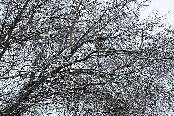 Manitoba Maple tree in winter