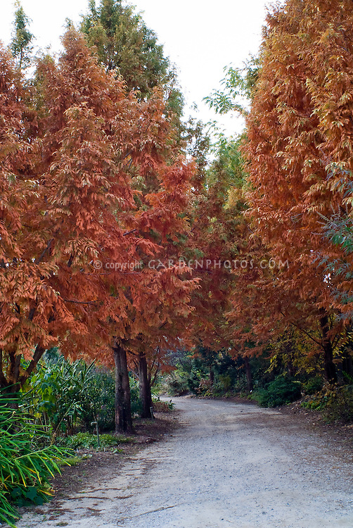 Metasequoia gyphostroboides 'Ogon' in fall foliage autumn color (Dawn Redwood Trees)