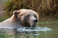Female Coastal Brown Bear enjoys snorkeling for her salmon.