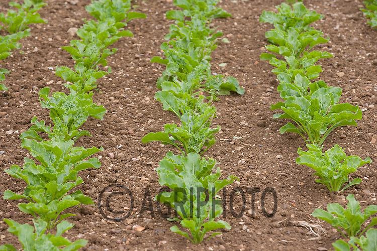 Sugar beet plants<br /> Picture Tim Scrivener 07850 303986<br /> tim@agriphoto.com<br /> ?.covering agriculture in the UK?.