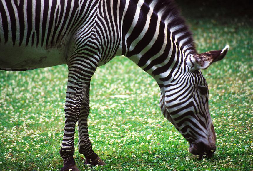 A Zebra eating.