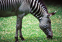 A Zebra eating.