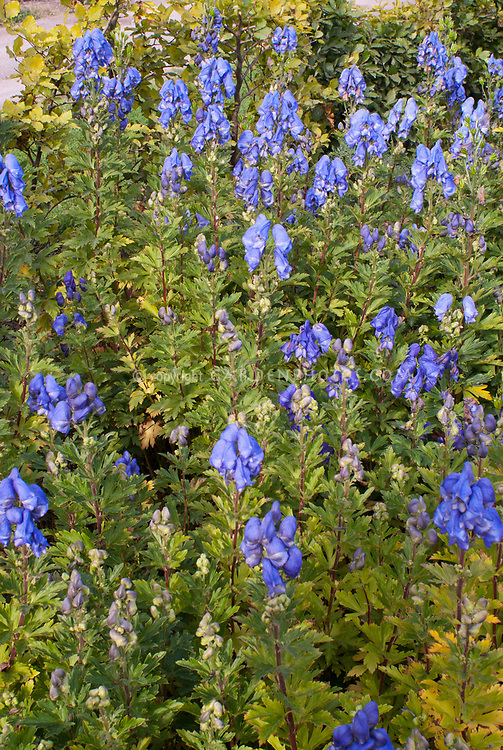 Aconitum carmichaelii Arendsii Group in blue flowers in autumn bloom