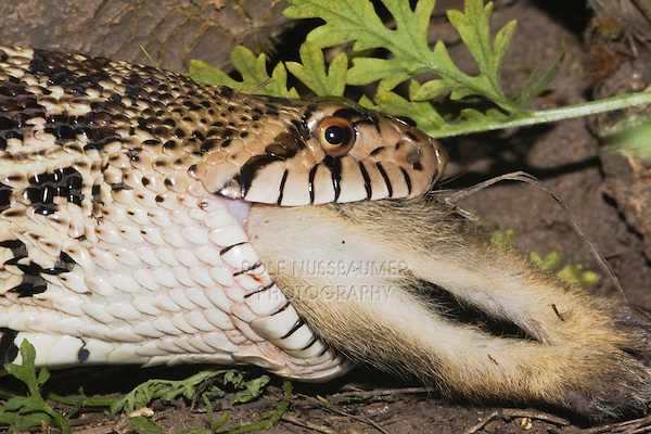 Bullsnake (Pituophis catenifer sayi), adult eating Eastern Cottontail (Sylvilagus floridanus), Rio Grande Valley, Texas, USA