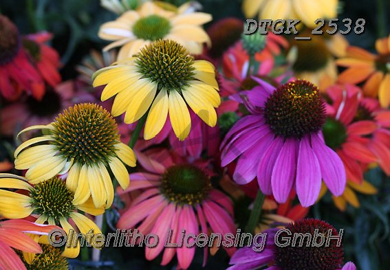 Gisela, FLOWERS, BLUMEN, FLORES, photos+++++,DTGK2538,#f#, EVERYDAY