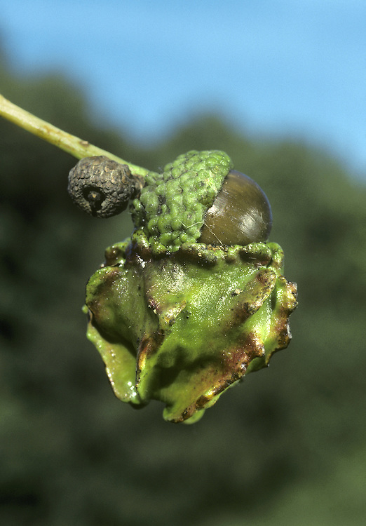 Knopper Gall on acorn of Pedunculate Oak Quercus robur, caused by tiny wasp Andriscus quercuscalicis. The introduced Turkey Oak Quercus cerris is need to complete the life cycle of the wasp.