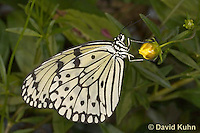 0401-08mm  Tree Nymph Butterfly - Idea leuconoe © David Kuhn/Dwight Kuhn Photography