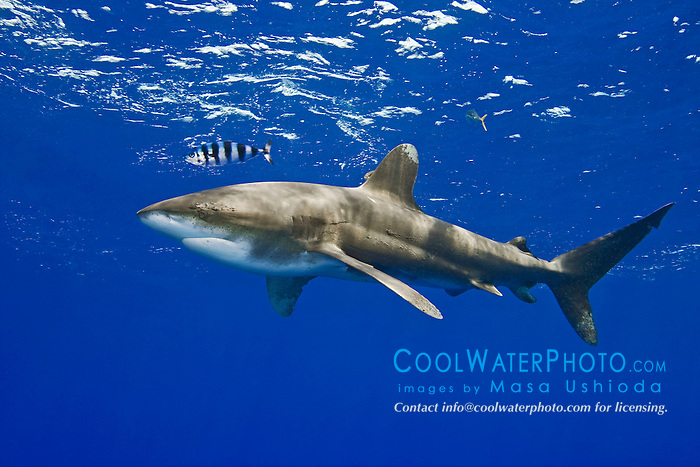 Oceanic Whitetip Shark, Carcharhinus longimanus, with Pilotfish, Naucrates ductor, off Kona, Big Island, Hawaii, Pacific Ocean.